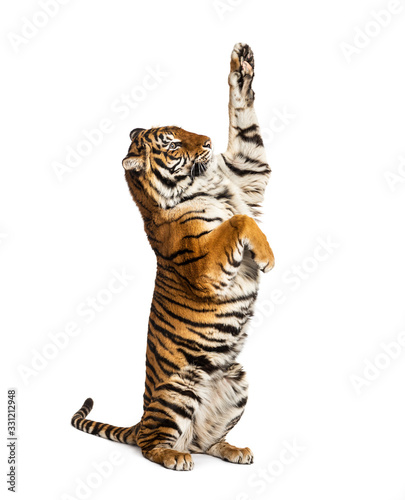 Male tiger on hind legs, big cat, isolated on white Wall mural
