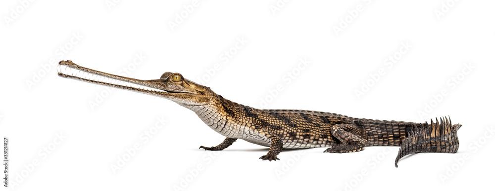 Fototapeta Young Fish-eating crocodile, Gavial, Gavialis gangeticus