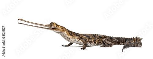 Fotografie, Tablou Young Fish-eating crocodile, Gavial, Gavialis gangeticus