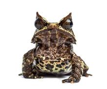 Long-nosed Horned Frog Facing ...