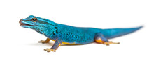 Electric Blue Gecko Licking It...