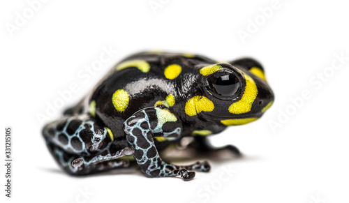 Cuadros en Lienzo Spotted poison frog, Spotted poison frog, isolated on white