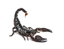 Emperor Scorpion Attacking, Pandinus Imperator, Isolated