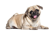 Panting Lazy Pug Lying Down, Isolated On White