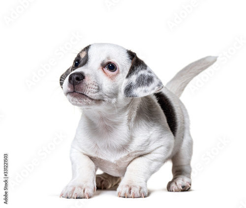 Fotografia Happy Puppy Jack Russel Terrier begging, isolated on white