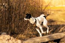 The Dog Runs Along A Small Bri...
