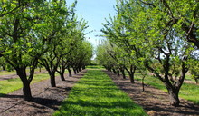 Picture Of Almond Orchards In Rows