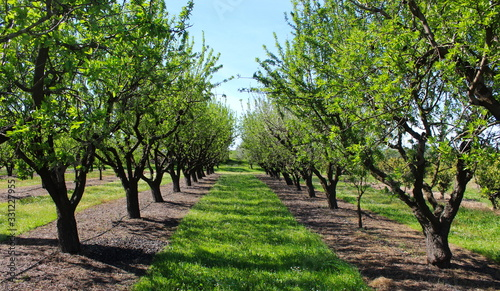 Fotografia picture of almond orchards in rows