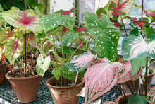 Collection Of Caladium Varieties In The Greenhouse