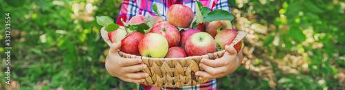 Obraz child picks apples in the garden in the garden. Selective focus. - fototapety do salonu