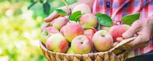 Man Gardener Picks Apples In The Garden In The Garden. Selective Focus.