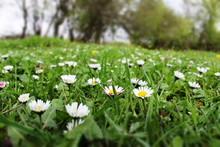 Daisy Grass Spring Drops