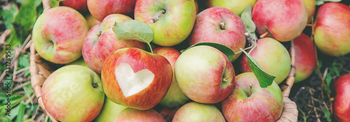 Obraz Harvest apples in a box on a tree in the garden. Selective focus. - fototapety do salonu