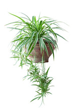 Spider Plant Or Chlorophytum B...