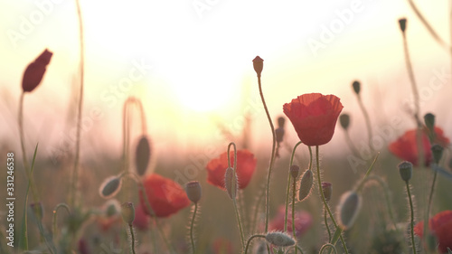 Spring meadow with red poppies at sunrise. Beautiful natural spring background - 331246538