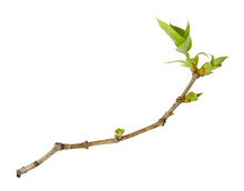 Young Spring Branch Of Lilac I...