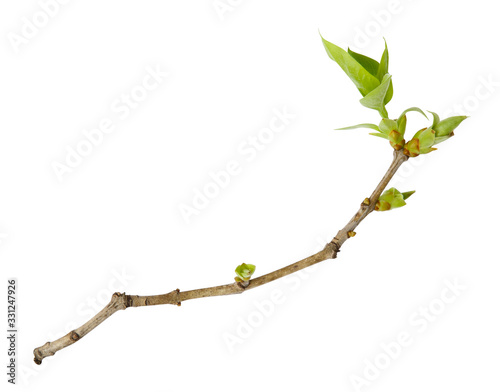 Fotografia Young spring branch of lilac isolated on white