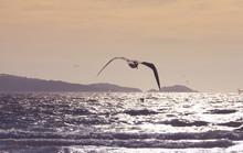 Seabird Flying At Sunset