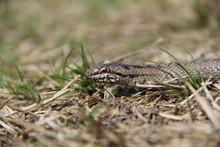 Smooth Snake Head Close Up