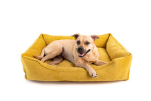 The Brown Dog Lies On A Yellow Dog Sofa. Isolated White Background.