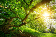 The Warm Sun Seen From Under A Tree In The Park, With A Meadow And Lots Of Green Foliage
