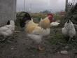 rooster outdoor cockerel