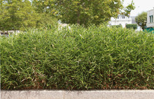 Haie De Bambous
