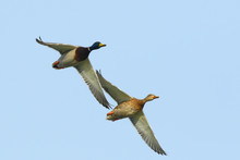A Pair Of Mallard Ducks Flying...