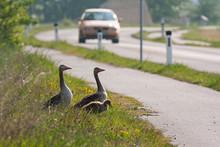 Greylag Goose, Anser Anser, Fa...