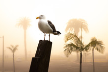Seagull On Wooden Post With Pa...