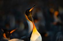 King Penguin Making Way Throug...