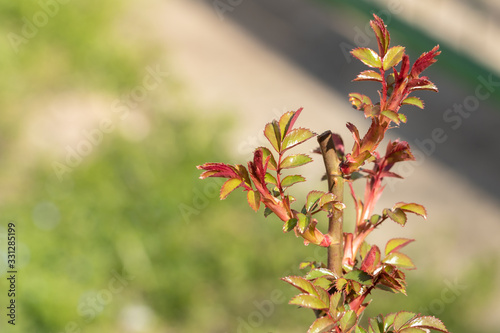 Arousal of the rose bush in early spring on a sunny day Wallpaper Mural