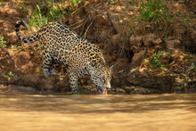 Jaguar Drinking Water On A Riv...