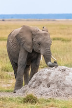 Young Elephant Scratching His Trunk On A Termite, With A Funny Attitude