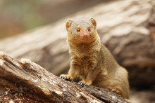 Common Dwarf Mongoose, Helogal...
