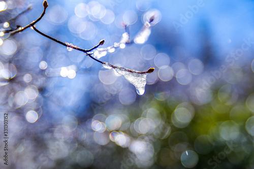 Fototapeta 枝についた雪解けのしずく obraz