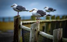 Seagulls On The Coast Of Orego...