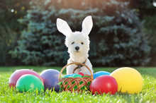 White Puppy With Easter Rabbit...