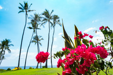 Bougainvillea Under Blue Sky And Palm Trees