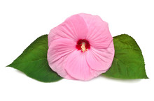 Pink Head Hibiscus Flower With...