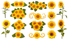 Sunflowers Collection Isolated...