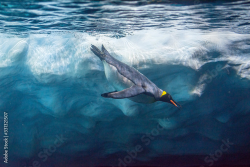 Fototapeta Penguin diving under ice, underwater photography .