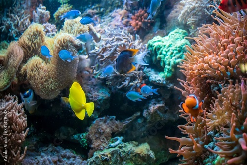 Photo Yellow tang Clown fish Ctenochaetus tominiensis and Flame angelfish Magnificent