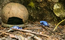 Dyeing Poison Blue Frog In The...