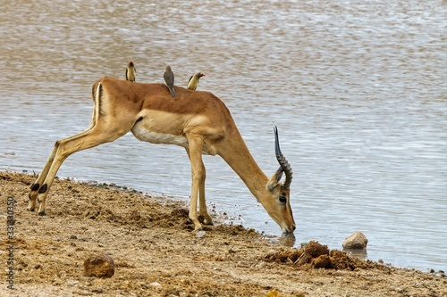 Foto Beautiful shot of an antelope drinking water on the lake while oxpecker birds ri