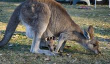 Kangaroo And Joey Feeding In T...