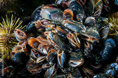 Blue Mussels underwater and filtering water in the St Canvas-taulu