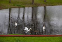 Trumpeter Swans Swimming On Pond