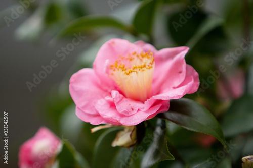 Fotografie, Obraz the Camellia Debutante japonica, a double bloom