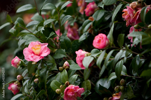 Fotografie, Obraz the Camellia Debutante japonica, a double bloom